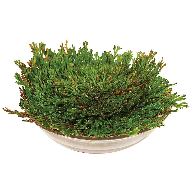 Striking Rose Of Jericho Dinosaur Plant Air Fern Spike