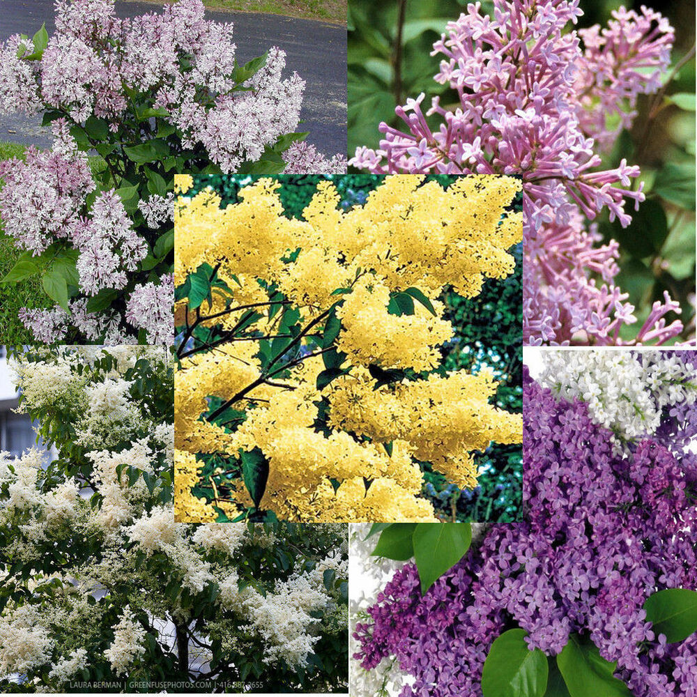 5 Varieties Of Lilac Mixed 100 Seeds Different Colors And