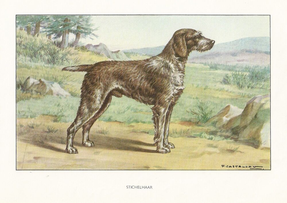 German Wirehaired Pointer History 1930s Watercolo...