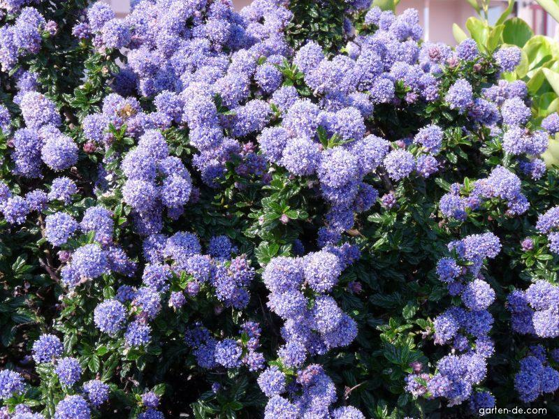 ceanothus blue mound californian lilac evergreen shrub ebay. Black Bedroom Furniture Sets. Home Design Ideas