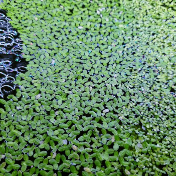 Lemna Minor Duckweed Floating Oxygenating Plant Pond Tropical Coldwater Fish