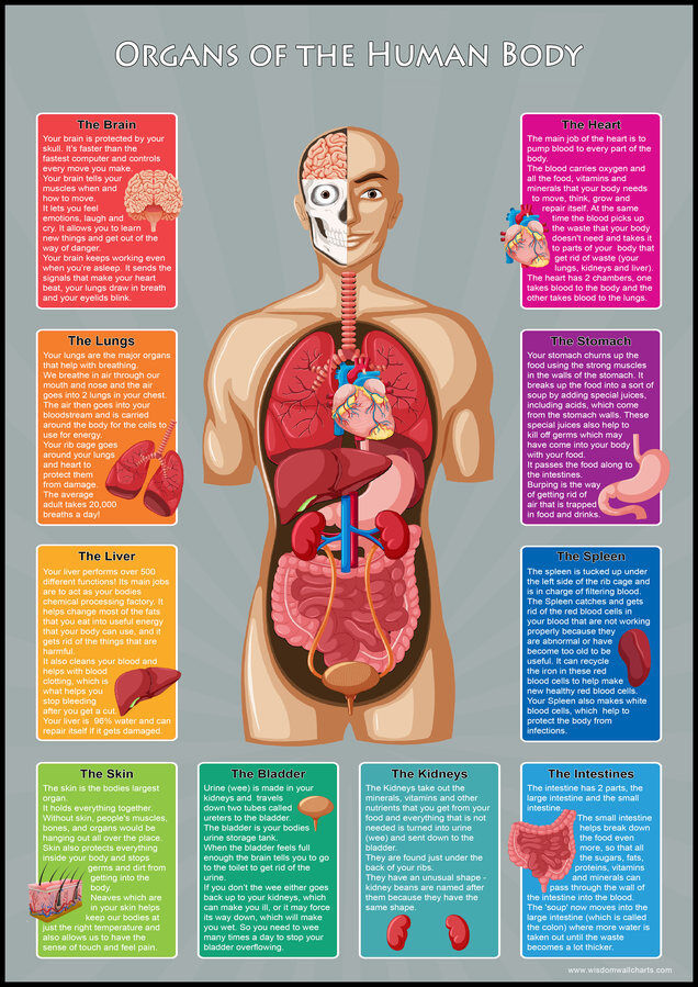 Kids Learn Organs Of The Human Body Parts Educational Toddlers