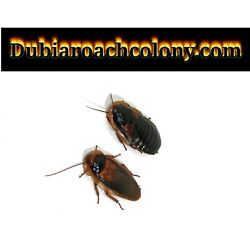 Kyпить 20 pregnant females and 10 male Adult dubia roaches FREE SHIPPING feeders Roach на еВаy.соm