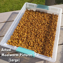 Kyпить Live Mealworms - FREE Shipping! Bulk, Grown Organic in Florida (250-5000) - M, L на еВаy.соm