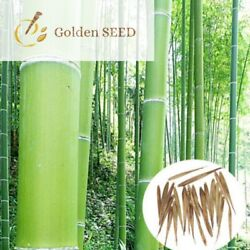 100 Seeds Giant Bamboo Moso Evergreen Perennial Fast Growing Plants Home Garden
