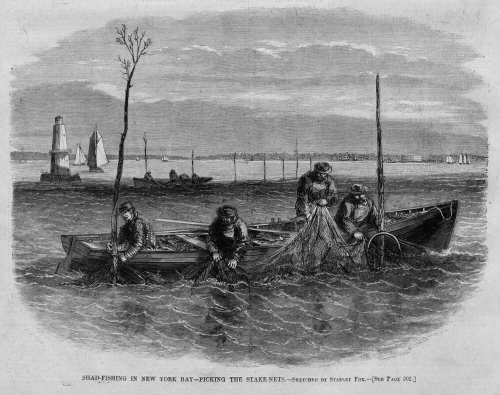 Shad fishing in new york bay picking the stake nets for Fishing in new york
