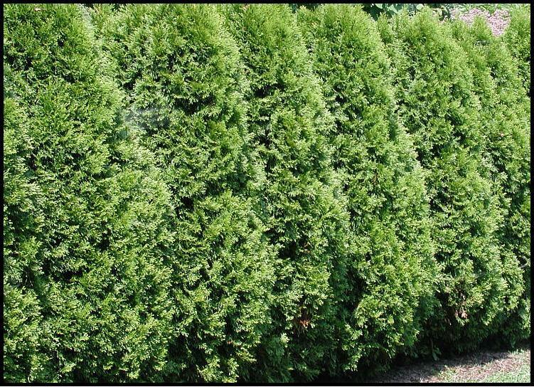 Ft thuja plicata hedging trees superb specimen