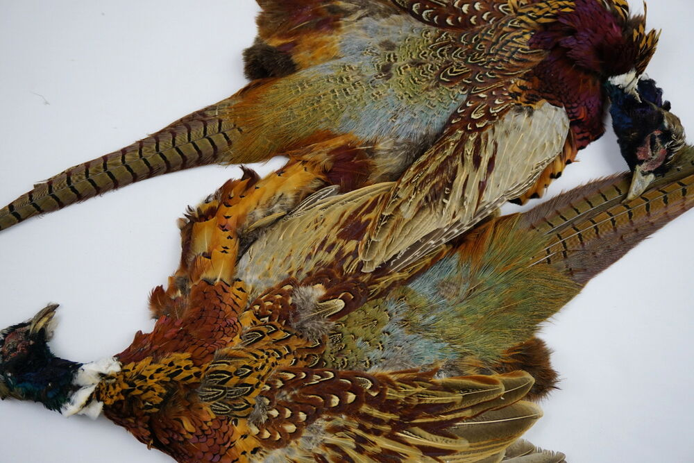 Ringneck Pheasant wings dog training crafts fly tying