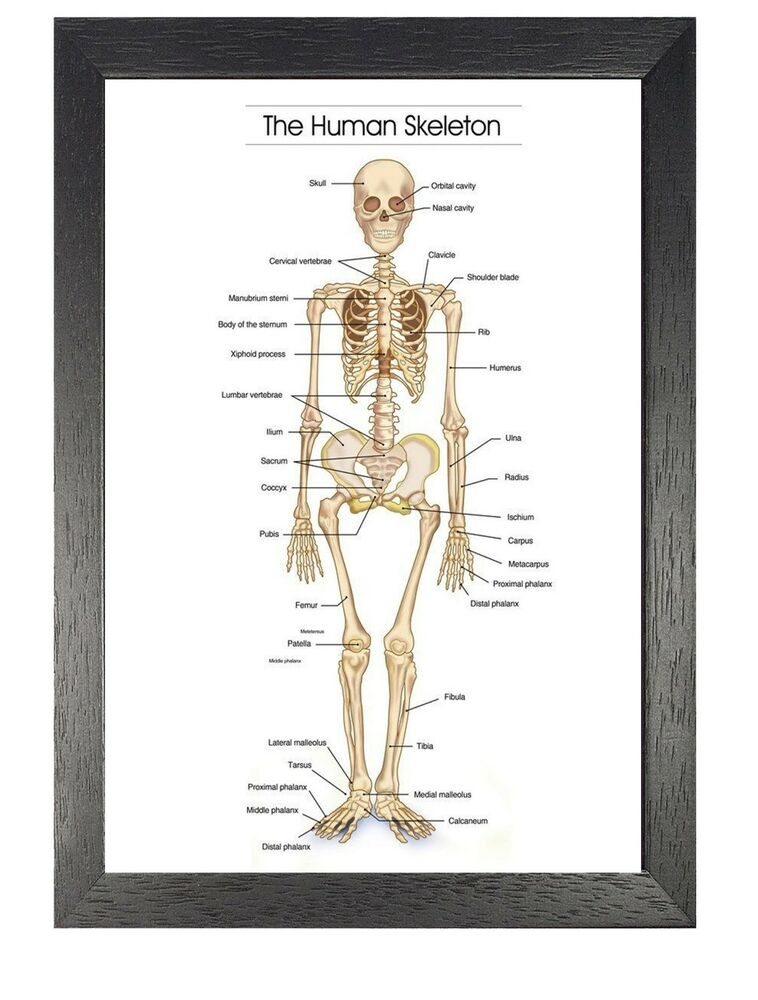The Human Skeleton Photo Picture Anatomy Skeletal System Human