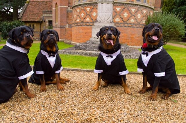 Dog tuxedo large breed big dog formal wedding costume bow for Wedding dress for dog
