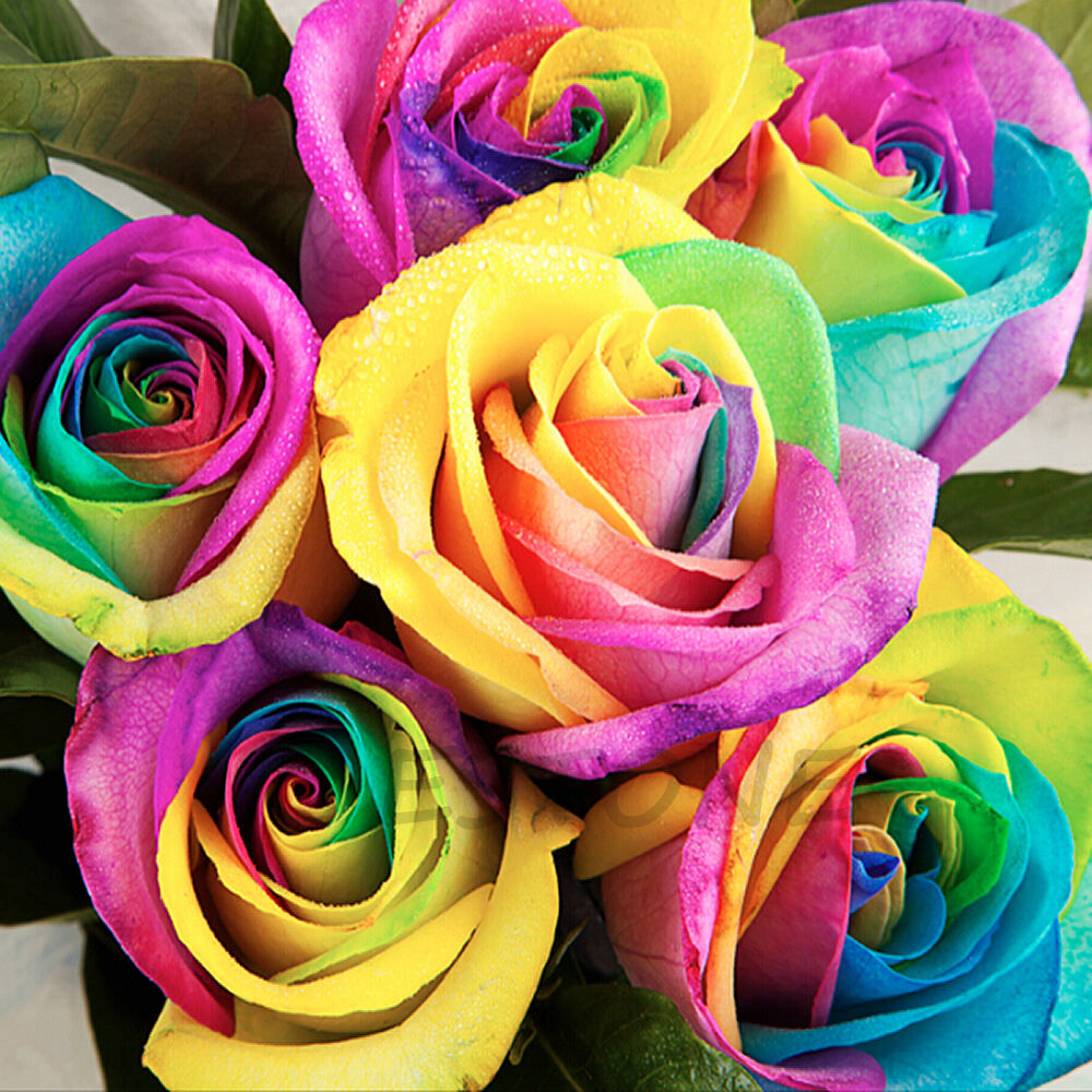 200pcs Rare Rainbow Rose Flower Seeds Your Lover Multi Color Plant Home Garden Ebay