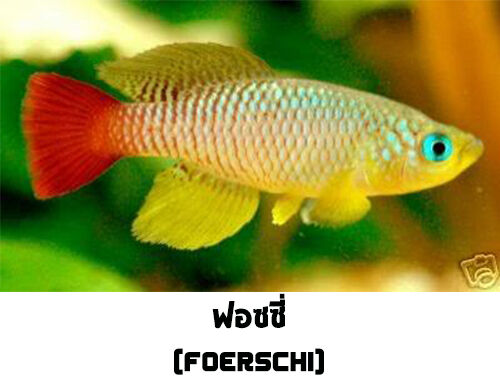 The tropical fish killifish nothobranchius foerschi 50 for Easy aquarium fish