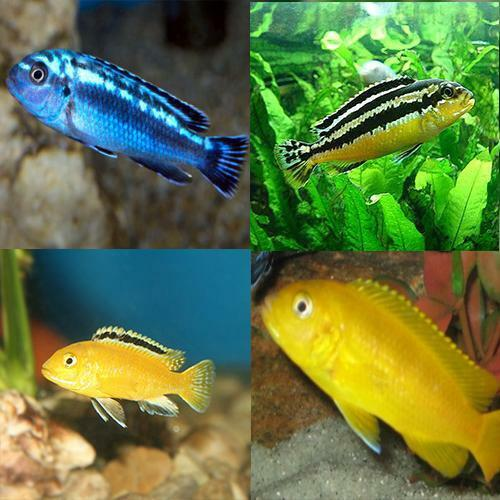 live tropical aquarium fish for sale assorted malawi
