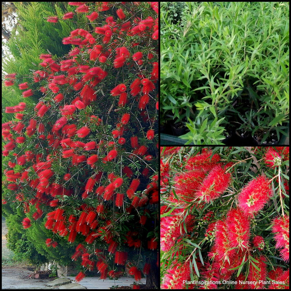 8 bottlebrush kings park special callistemon native plants for Plants for outdoor garden