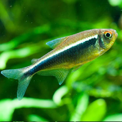 Live tropical aquarium fish for sale black neon tetra for Live pond fish for sale