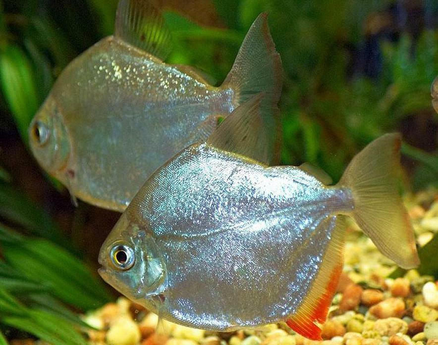 Live tropical aquarium fish for sale silver dollars for Aquarium fish for sale online