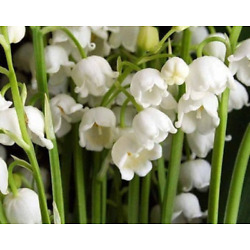 Kyпить Lily of the Valley Convallaria majalis Root Systems 10 Root Systems на еВаy.соm