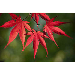 Kyпить Bloodgood Japanese Maple 18/24