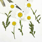 6pcspack Pressed Real Dried Flowers Chrysanthemum For Jewelry Making Crafts