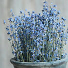 100 Stems Natural Dried French Fragrant Lavender Bunch Tied New Home Decoration