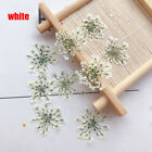Home Decoration Ammi Majus Flower Hand-made Plant Pressed Dried True Flower