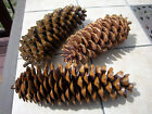 Large Natural Processed Oregon Sugar Pine Cones...you Choose Size