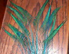 10 Peacock Sword Feathers 20-25 Stem Dyed 11 Colors Available