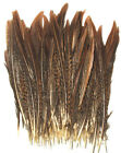 50 Golden Pheasant Feathers Beautiful Barred Pattern Sold By Length Pheasant