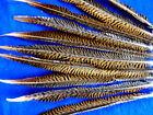 Pack Of 50 Golden Pheasant Feathers Beautiful Barred Pattern Sold By Length