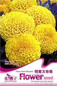 ... 50-Flowers-Seeds-Yellow-Marigold-Seeds-Tagetes-Chrysanthemum-Hot-Plant