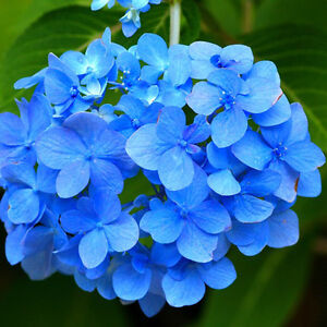 10 st ck hortensie blau blume samen pflanzen chinesische. Black Bedroom Furniture Sets. Home Design Ideas