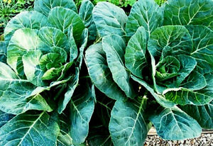 "100+ HEIRLOOM SEEDS - COLLARD GREENS - ""GEORGIA SOU"