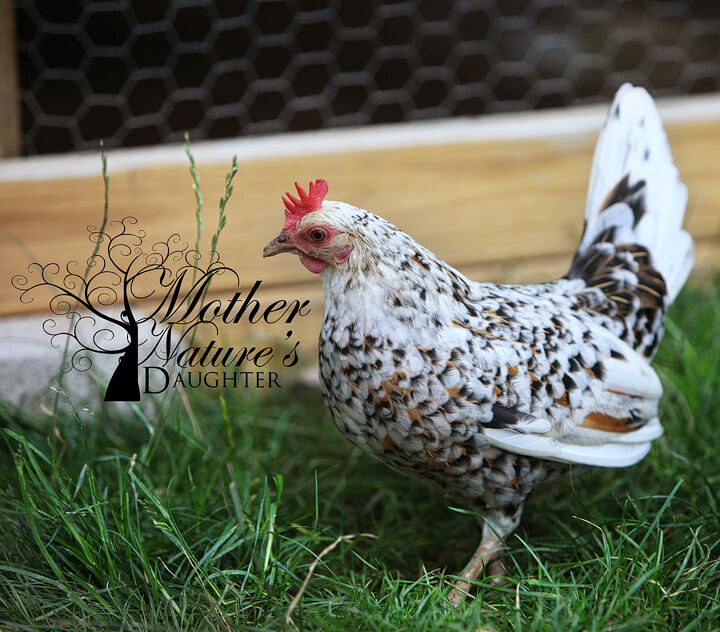 12 Olandsk Dwarf Chicken Hatching Eggs