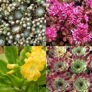 12 x sempervivum sedum stauden pflanzen f r steingarten ebay. Black Bedroom Furniture Sets. Home Design Ideas