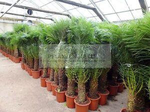 150 cm phoenix roebelinii zwergdattelpalme zimmerpalme - Zimmerpflanze palme ...