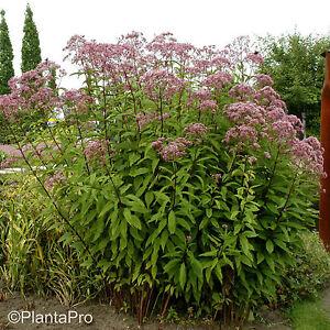 1x staude pflanze roter wasserdost eupatorium maculatum atropurpureum ebay. Black Bedroom Furniture Sets. Home Design Ideas