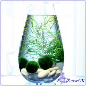 3 baby marimo moss balls live aquarium plant java shrimps for Moss balls for fish tanks