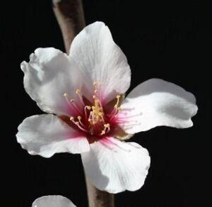3 samen mandelbaum prunus amygdalus dulcis mandel bittermandel tolle bl te ebay. Black Bedroom Furniture Sets. Home Design Ideas