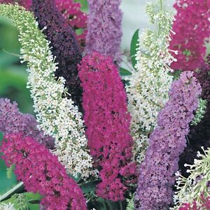 3-x-Mixed-Colour-Buddleia-Butterfly-Bush-Shrubs-GREAT-VALUE