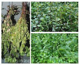 5 minzen pflanze pfefferminze swiss marokko erdbeer schoko. Black Bedroom Furniture Sets. Home Design Ideas