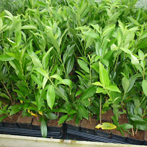 50 CHERRY Laurel Evergreen Hedging Screening Plants Hardy