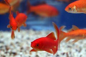 5cm goldfish carassius auratus live cold water aquarium for Cold water fish tanks
