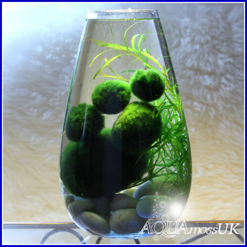 All sizes marimo moss balls cladophora live aquarium plant for Moss balls for fish tanks