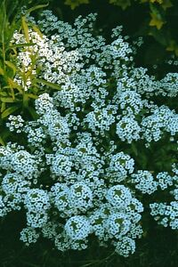 ALYSSUM-CARPET-OF-SNOW-40-000-SEEDS-BULK-ANNUAL