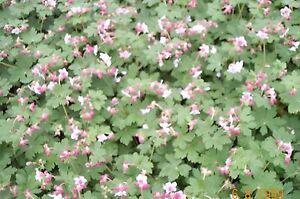 balkan storchschnabel 39 spessart 39 geranium macrorrhizum 39 spessart pflanze ab1 50 ebay. Black Bedroom Furniture Sets. Home Design Ideas