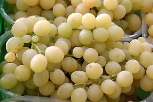 Cloni barbatelle viti innestate piantine piante pianta - Piante uva da tavola ...