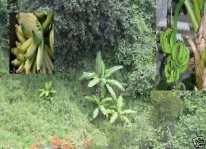 die k stlichsten bananen der welt winterharte banane musa nagensium pflanze. Black Bedroom Furniture Sets. Home Design Ideas