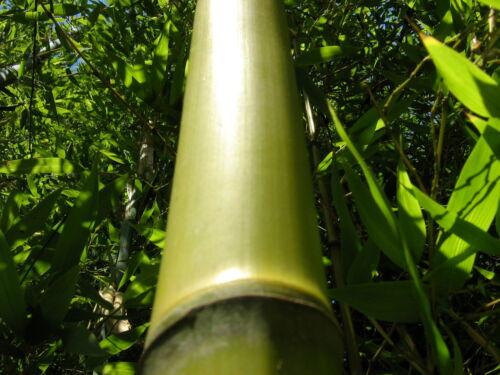 der echte riesenbambus w chst bis 30 cm tag absolut winterhart bambus 10 samen ebay. Black Bedroom Furniture Sets. Home Design Ideas
