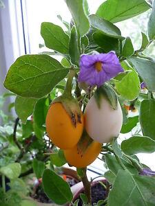 eierpflanze aubergine wei dourga eierfrucht solanum melongena vitamine ebay. Black Bedroom Furniture Sets. Home Design Ideas