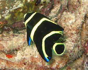 French Angelfish Small Live Saltwater Fish